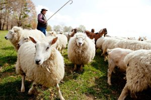 sheep-farmer-paid-enough-for-its-products